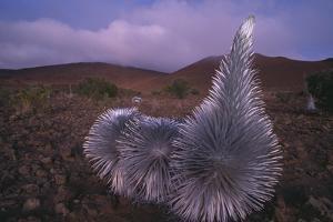 Mauna Kea Silversword by DLILLC