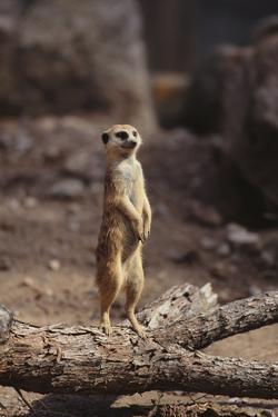 Meerkat Standing Up by DLILLC