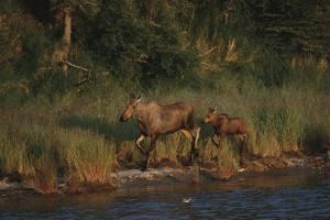 Moose and Young on River Bank by DLILLC