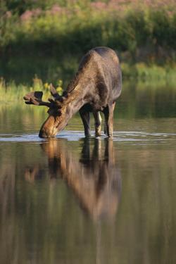 Moose Drinking by DLILLC