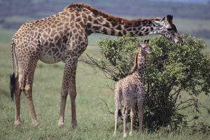 Mother and Baby Giraffe Grazing Together by DLILLC