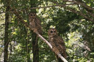 Northern Spotted Owls by DLILLC