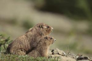 Olympic Marmots by DLILLC