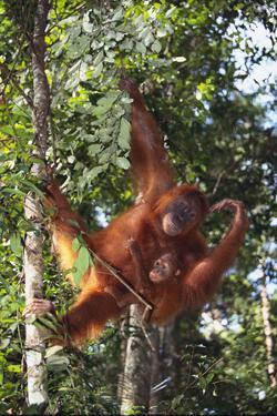 Orangutan and Baby Swinging in the Trees by DLILLC