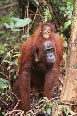 Orangutan with Her Baby by DLILLC