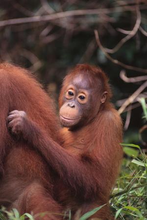Orangutans by DLILLC