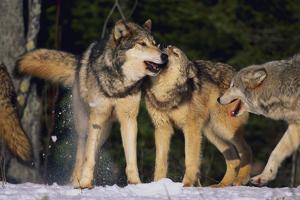 Pack of Gray Wolves by DLILLC