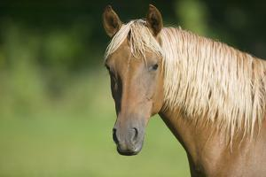 Palomino Stallion by DLILLC