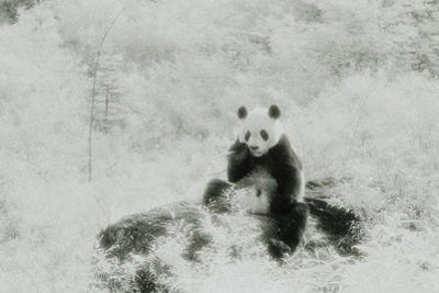 Panda Eating Bamboo Stalk by DLILLC