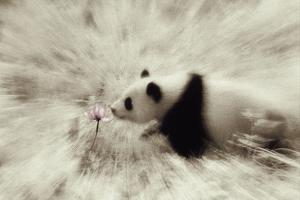 Panda Sniffing Lotus Blossom by DLILLC