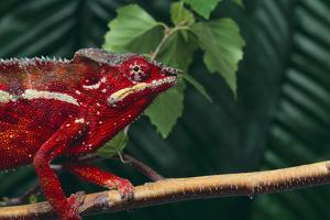Panther Chameleon by DLILLC