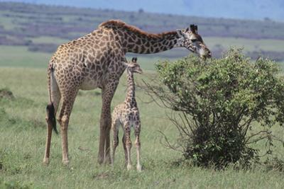 Parent and Young Giraffe