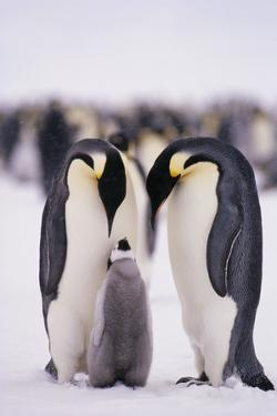 Parent Emperor Penguins with Chick by DLILLC