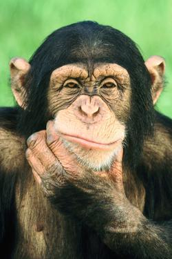 Pensive Chimpanzee by DLILLC