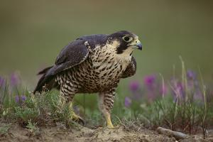 Peregrine Falcon in Grass by DLILLC