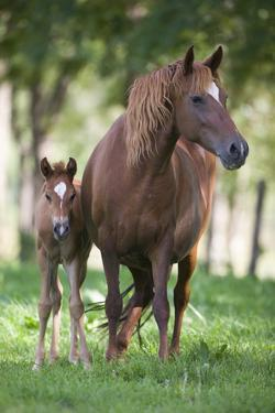 Peruvian Paso Colt with Quarter Horse Broodmare by DLILLC