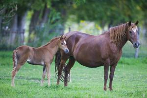 Peruvian Paso Colt with Quarter Horse Mare by DLILLC