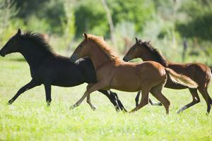 Peruvian Paso Colts Running by DLILLC