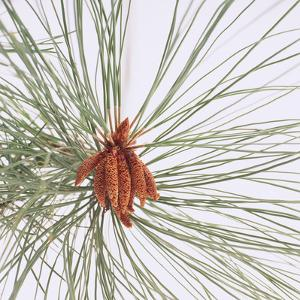 Pine Needles by DLILLC