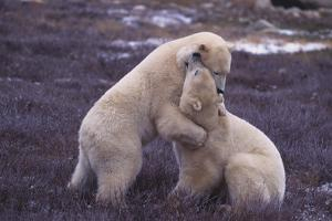 Polar Bears Hugging by DLILLC