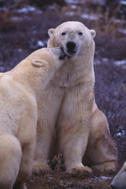 Polar Bears Nuzzling by DLILLC