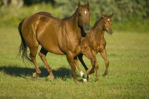 Quarter Horse Mare and Colt Running by DLILLC