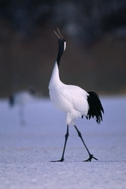 Red-Crowned Crane Walking on Snow by DLILLC