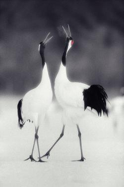 Red-Crowned Cranes in Courtship Display by DLILLC