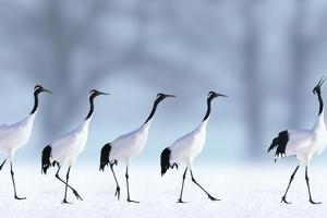 Red-Crowned Cranes by DLILLC