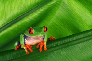 Red-Eyed Tree Frog on Leaf by DLILLC