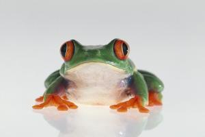 Red Eyed Tree Frog by DLILLC