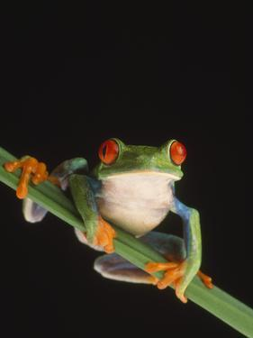 Red-Eyed Tree Frog by DLILLC