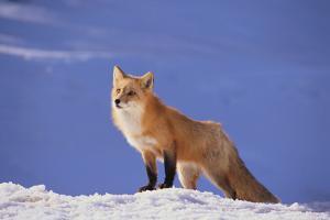 Red Fox by DLILLC