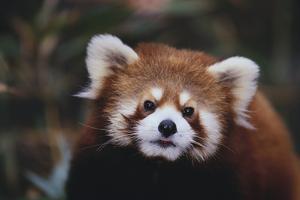 Red Panda by DLILLC