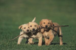 Retriever Puppies Sharing a Stick by DLILLC