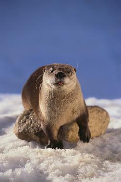 River Otter by DLILLC