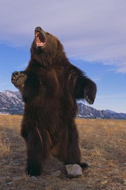 Roaring Grizzly Bear by DLILLC