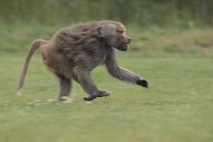 Running Baboon by DLILLC