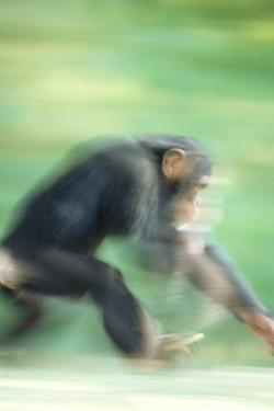 Running Chimp by DLILLC