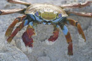 Sally Lightfoot Crab by DLILLC