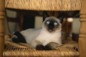 Siamese Cat on Chair by DLILLC