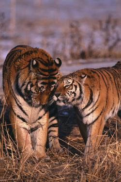 Siberian Tigers Showing Affection by DLILLC
