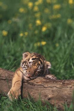 Sleeping Tiger Cub by DLILLC