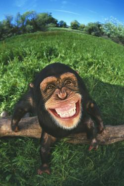 Smiling Chimpanzee by DLILLC