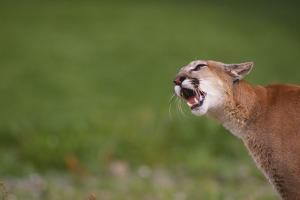 Snarling Cougar by DLILLC