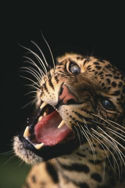 Snarling Leopard by DLILLC