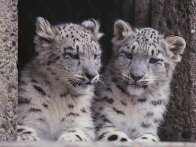 Snow Leopard Cubs by DLILLC