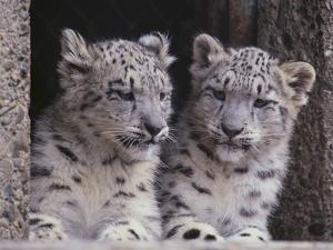 Snow Leopard Cubs by DLILLC