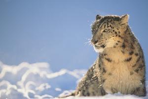 Snow Leopard in Snow by DLILLC