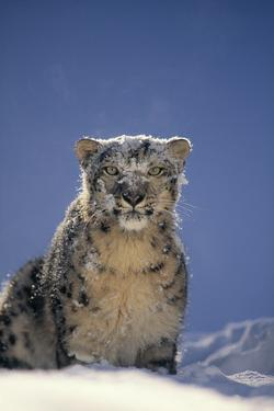 Snow Leopard in Snow by DLILLC